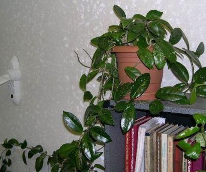 Комнатные растения, приносящие в дом несчастье